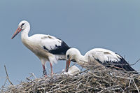 White Stork juveniles on the nest / Ciconia ciconia