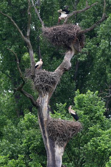 Stork colony, Marchegg, Austria