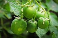 Macro of green potato seed berries containing true seeds