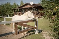 White horse waiting owner in paddock on sunny day outdoor against on backdrop wooden house