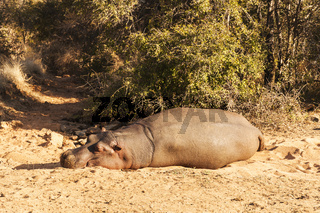 A Hippo resting in the afternoon sun.