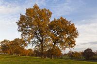 large oak trees on meadow in autumn dress
