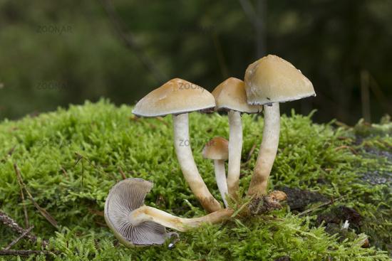 Conifer Tuft