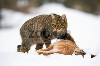 European wildcat, felis silvestris, with a kill of dead rabbit