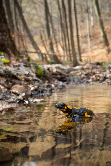 Enchanting fire salamander resting in shallow water on a sunny day in springtime