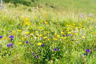 Blumen in den Bergen des Ennstals in Oberösterreich