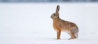 Brown hare standing on snow in winter nature with copy space