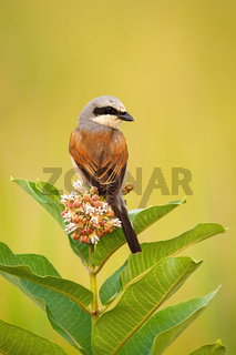 Red-backed shrike sitting on a flower of blooming tree and looking behind.