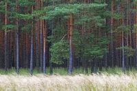 Kiefernwald / Pine forest / Oberlausitz  -  Sachsen