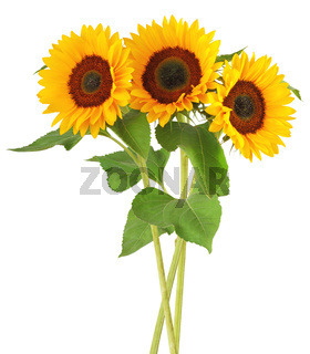 Three wonderful sunflowers (Helianthus annuus)  isolated on white background, including clipping path.