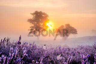 Blooming heather in the Netherlands,Sunny foggy Sunrise over the pink purple hills at Westerheid park Netherlands, blooming Heather fields in the Netherlands during Sunrise