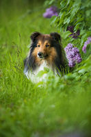 Sheltie dog under a lilac tree