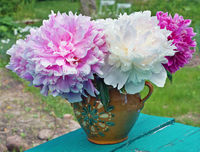 Pink and white fresh garden  peonies flowers in a simple clay rural  vase