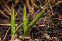 tulip sprout