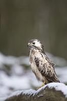 Maeusebussard, Buteo buteo, common buzzard