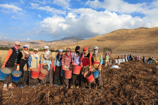 women and men harvest potatoes in the field as a seasonal worker in agricultural production  sector