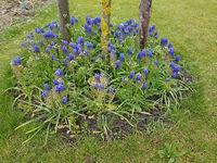 Traubenhyazinthe, Muscari latifolium