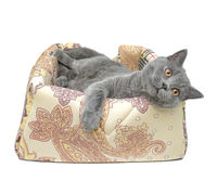 gray cat (Scottish Straight breed) on white background.
