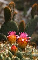 cactus flower_3