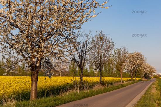 Baumallee blühende Bäume