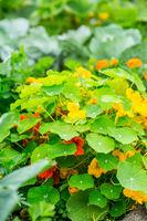 Tropaeolum majus - garden nasturtium or Indian cress in garden. Edible plant used for ornamental salad ingredient.