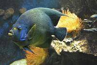 DSC1173JX-Fisch Pomacanthus semicirculatus Blauer Kaiserfisch.jpg
