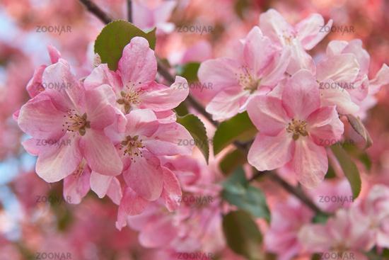 Closeup shot of blooming apple tree flowers