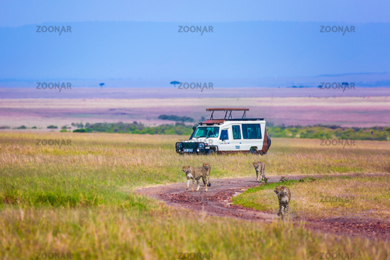 Cheetah family runs between tourist jeeps