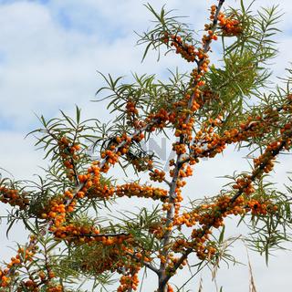 Zweige vom Sanddorn mit Früchten, Hippophae rhamnoides