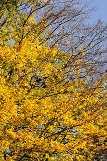 Gelbe Blätter im Herbst am Baum