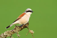 Red-backed shrike sitting on a branch with moss in summer nature
