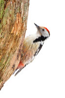 Middle spotted woodpecker sitting on tree cut out on blank.