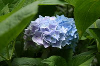 beautiful floral hydrangea  in blue colors in HDR