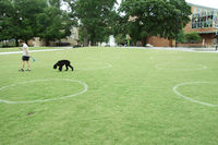 RALEIGH,NC/USA - 6-05-2020: A person walks his dog in Moore Square park in downtown Raleigh, NC. White circles are painted in the grass to encourage social distancing during the Coronavirus pandemic