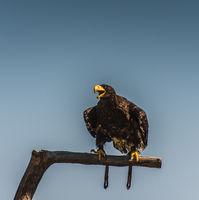 Steller's Bald Eagle at Rest