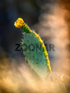 Detail of yellow prickly pear cactus