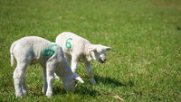 Young newborn lambs on a meadow in spring