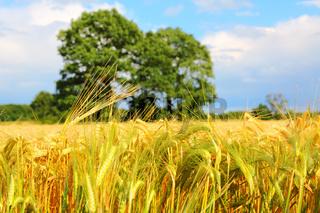 Close-up shots of a grain field in summer.