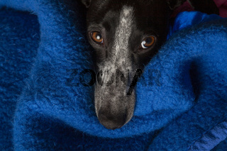 small greyhound with curious look
