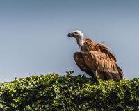 Griffon vulture resting on a bush