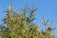 Natural evergreen branches with cones of Xmas tree in pine forest. Beautiful fir branches