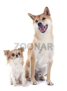 shiba inu and chihuahua