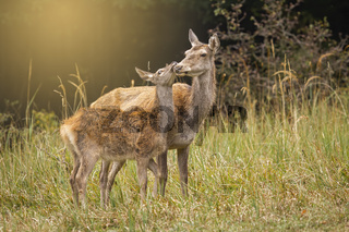 Red deer hind and fawn touching with heads in harmony