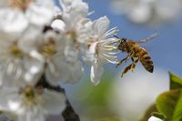 Bee is  pollinating an appletree blossom
