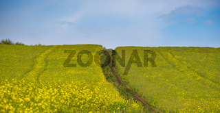 Small young deer on dirty road through spring rapeseed yellow blooming fields. Natural seasonal, good weather, climate, eco, farming, countryside and animal beauty concept.