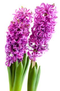 purple Hyacinths