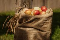 Burlap sack of ripe apples