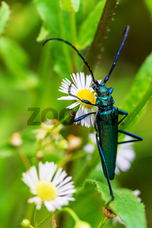 barbel musk beetle (Aromia moschata) on the flowers of pharmacy chamomile close-up