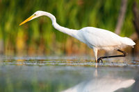 Great egret wading in swamp in summertime nature.