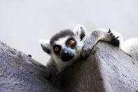 Portrait of a catta lemur close-up